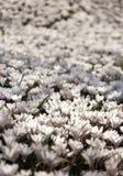 Много белых растущих цветков крокуса под солнечностью весны Стоковое Изображение RF