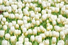 Много белых тюльпанов Стоковое Фото