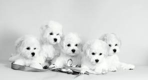 Много белых щенят Симпатичные, малые, пушистые собаки Стоковое фото RF