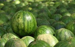 Много больших сладостных зеленых арбузов Стоковые Фотографии RF