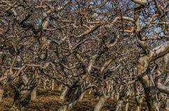 много ветвей яблонь Стоковое фото RF