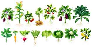 Много вид овощей с листьями и корнями иллюстрация штока