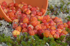 Много выбранных морошек ягод на траве в тундре стоковые фотографии rf
