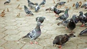 Много голубей на питаться мостовой парка видеоматериал