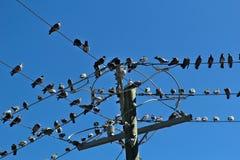 Много голубей сидели на некоторые провода стоковые фотографии rf