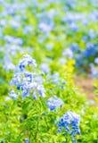 Много голубых цветков гортензии в саде Стоковые Изображения RF