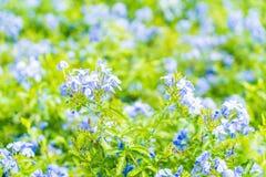 Много голубых цветков гортензии в саде Стоковая Фотография