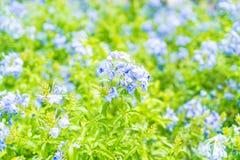 Много голубых цветков гортензии в саде Стоковое фото RF
