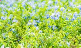 Много голубых цветков гортензии в саде Стоковое Фото
