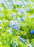 Много голубых цветков гортензии в саде Стоковые Изображения