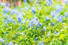 Много голубых цветков гортензии в саде Стоковая Фотография RF