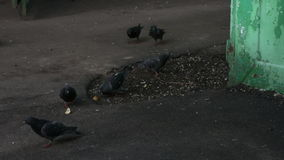 Много голуби воюя для еды видеоматериал