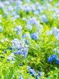 Много голубых цветков гортензии в саде Стоковые Фото