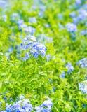 Много голубых цветков гортензии в саде Стоковое Изображение RF