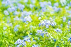 Много голубых цветков гортензии в саде Стоковое Изображение