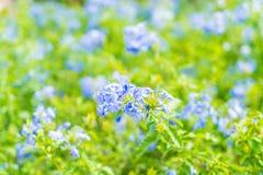 Много голубых цветков гортензии в саде Стоковые Фотографии RF