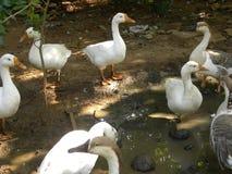 Много гусынь серого, коричневого и белого цвета отечественных на ферме Стоковое Фото