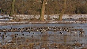 Много гусынь barncale сидя в болоте зимы стоковое изображение