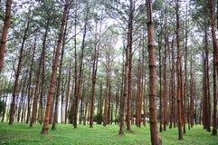 Много дерево в парке на pitsanulok kla rong hin Phu национального парка Стоковое фото RF