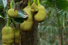 Много джекфруты на дереве Весна в тропической роще Стоковая Фотография