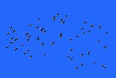 Много летание waterbird на голубом небе Стоковое Изображение RF