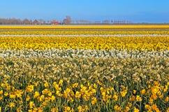 Много желтых и белых narcissus на голландских полях Стоковая Фотография RF