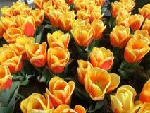 Много желтых цветков тюльпана, горизонтальных Стоковые Фотографии RF