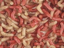 Много живя личинки для удить, предпосылка, личинка стоковые фото