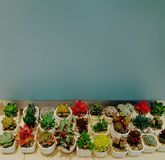 Много заводы кактуса в баках Стоковые Изображения RF