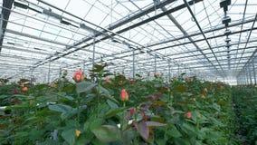 Много зацветая ярких розовых роз под потолком парника видеоматериал