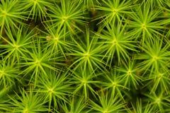 Много звездочки зеленого цвета Завод текстуры Стоковое Изображение RF