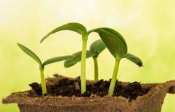 Много зеленых ростков огурца Стоковые Изображения RF