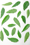 Много зеленых листьев neem распространили на поле Стоковое Фото
