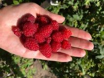 Много зрелое сочное clouse ягод красной поленики вверх в ладони стоковое изображение rf