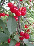 Много зрелых красных вишен на большом дереве стоковая фотография