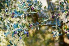 Много зрелых оливок на ветви Стоковое Изображение