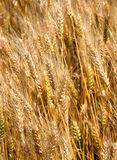 Много зрелая пшеница преследует в июне в середине культивируемое стоковая фотография rf