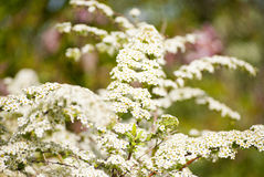 Много из белых цветков Стоковое фото RF