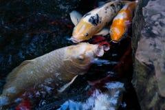 Много из причудливых карпа или рыб Koi Стоковое Изображение RF