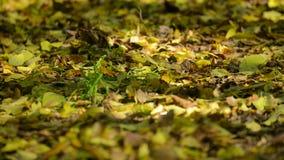Много листья умерших в лесе видеоматериал