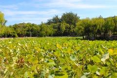 Много лист лотоса в озере Стоковое фото RF
