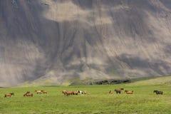 Много исландских лошадей и гора Стоковое Изображение