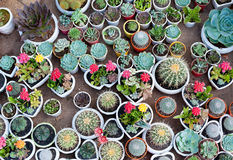 Много кактусов в баках Стоковые Изображения