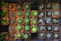 Много кактусы в баках на рынке Стоковое Изображение