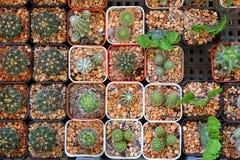 Много кактусы в баках на рынке Стоковые Изображения RF