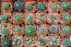 Много кактусы в баках на рынке Стоковые Изображения