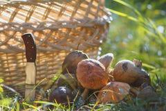 Много корзина и нож гриба подосиновика близко сплетенные в лесе Стоковые Изображения
