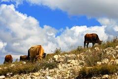 Много коров на злаковике горы caucasus Стоковое Изображение RF