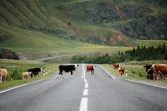 Много коров пересекая сельскую дорогу Горы стоковое изображение