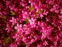 Много красивый пинк цветет предпосылка/обои Стоковые Изображения